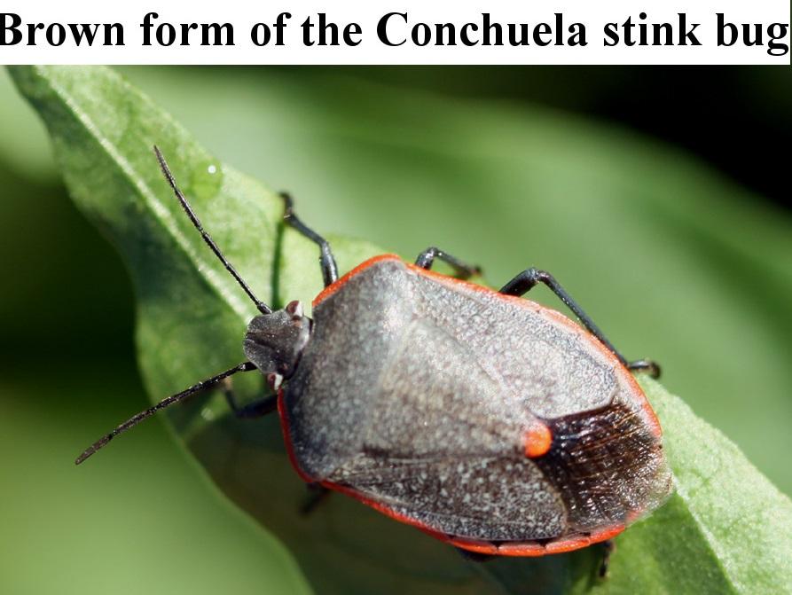 Conchuela stink bug adult