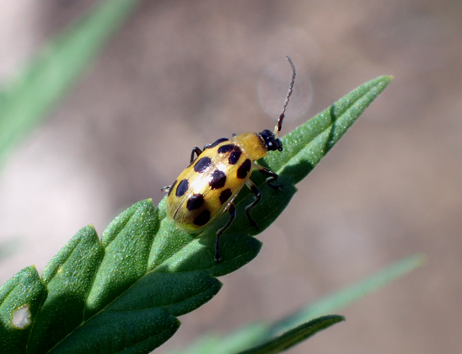 Hemp Insect Factsheets - Hemp Insect
